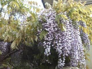 200805fujinohana.jpg