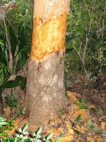 大きくなりすぎた樹 002