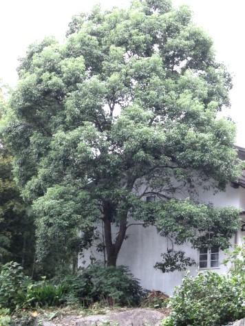 大きくなりすぎた樹 006