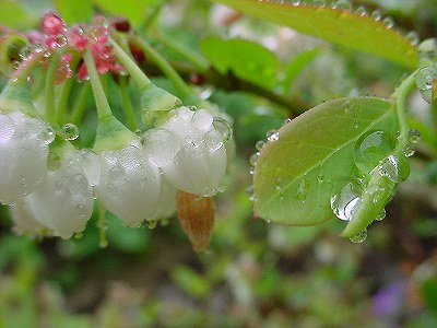 ブルーベリー・蜘蛛の糸・雨