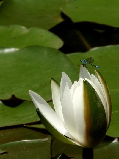 睡蓮と糸蜻蛉