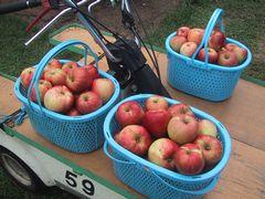 リンゴ収穫