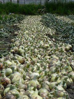 玉葱 収穫