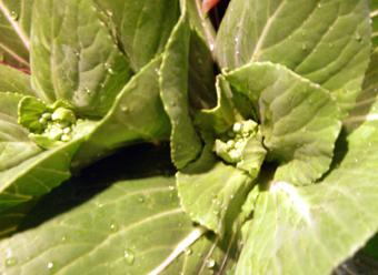 チンゲンサイ花0221