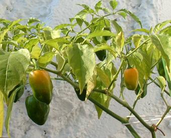 ハバネロオレンジ1102