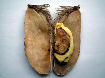 マンゴー種11019
