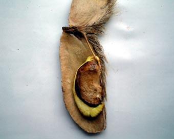 マンゴー種21019
