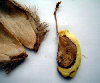 マンゴー種31019