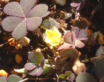 雑草の花1116