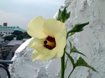 オクラの花1026