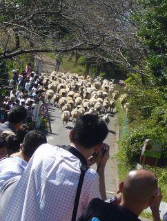 羊が150頭走ってきたぞー