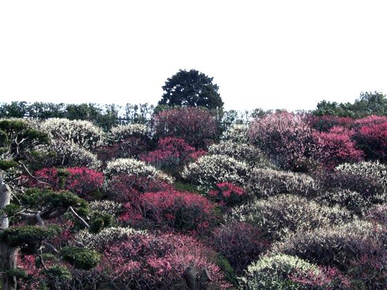 2008年に撮影した東京・大田区池上梅園の梅