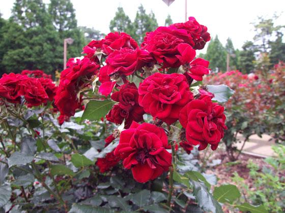 相模原北公園で咲いていた薔薇の花2