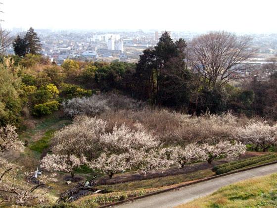 曽我梅林の梅の花