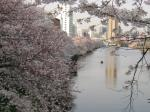 外堀通りの桜
