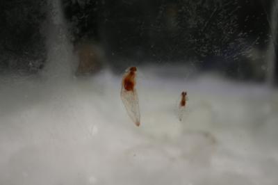 氷漬けのクリオネ