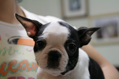 top character`s bostonterrier puppy
