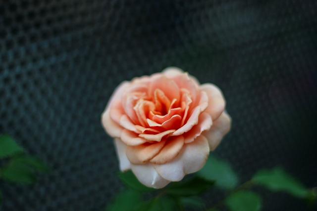 2008092901emi-rose