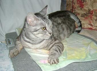 写真:ぶりちゃん、ホット座布団を片付けるのが嫌にゃ…