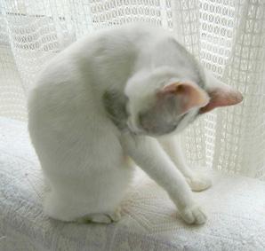 写真:白ゴマ、お詫びのフリですにゃ