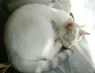 写真:白ゴマ変にゃ~?うにゃ、寝てるだけ~、にゃ