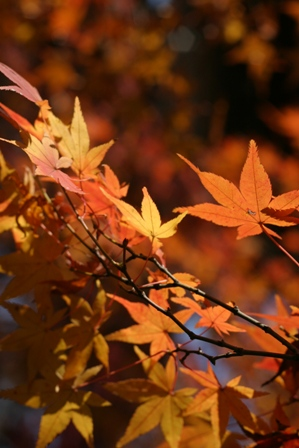 blog_オレンジ色のモミジ281109