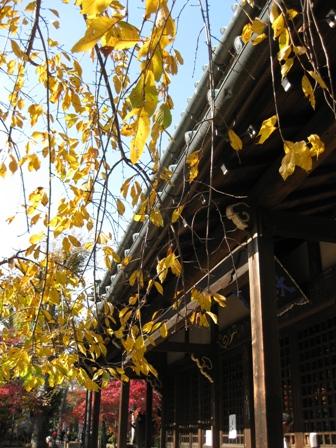 blog_黄色い紅葉の木281109