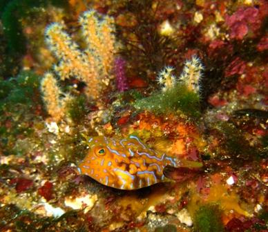 blog_シマウミスズメの幼魚300110