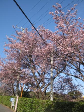 blog_早咲きの桜300110