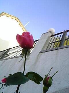 布引ハーブ園 薔薇