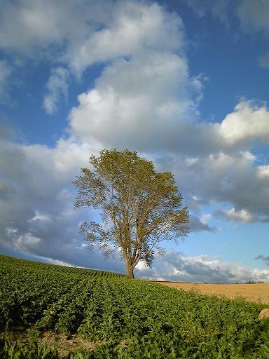 美瑛 パノラマロード 哲学の木