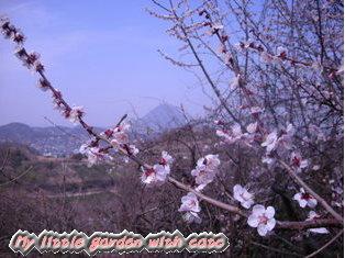 山桜とさぬき富士