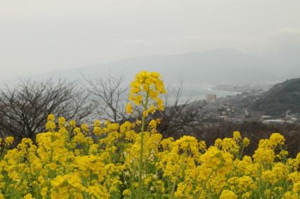 頂上の菜の花