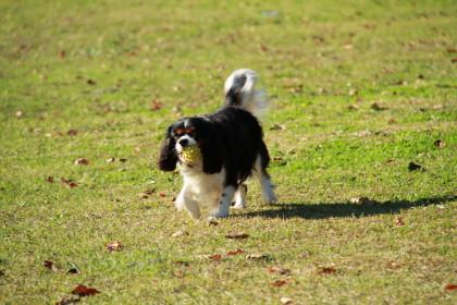 モモちゃん、嬉しそうにボールで遊んでいました