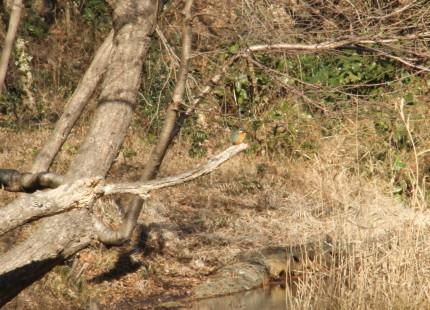 水鳥の池 カワセミ