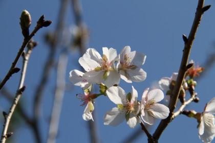 寒桜?十月桜?どっちだろう