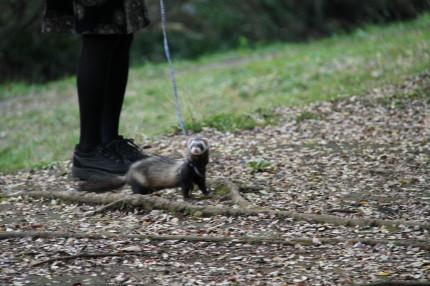 フェレットをお散歩している人がいました!!