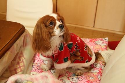 NIKKI君、サンタさんのお洋服お似合いです