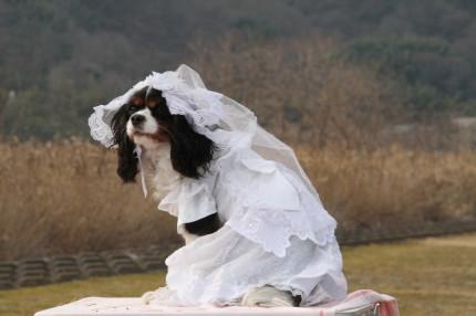 モモちゃん、ウェディングドレス
