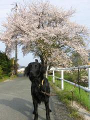 ちゃむと桜