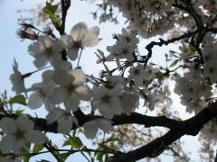 ママ実家近くの桜