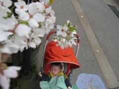 ど根性桜と颯