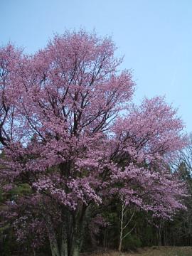 ooyamazakura