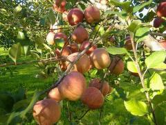長野・リンゴの木