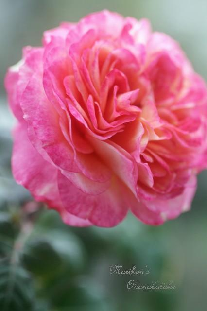 conv0253-rose.jpg