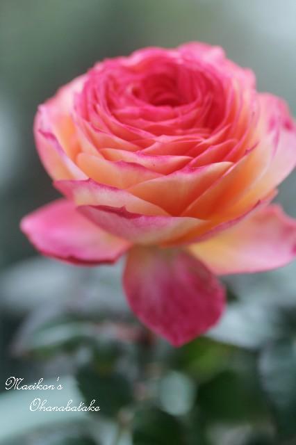 conv0254-rose.jpg