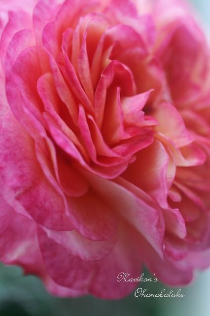 conv0257-rose.jpg
