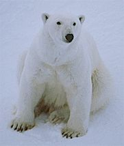 polar20bear.jpg