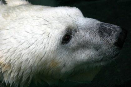 polarbear_2.jpg
