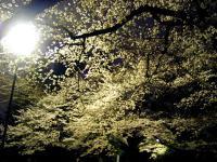 夜桜でっす